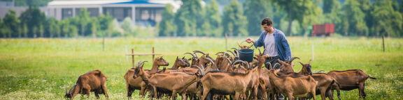 S'assurer en cas de contamination du lait en élevage caprin